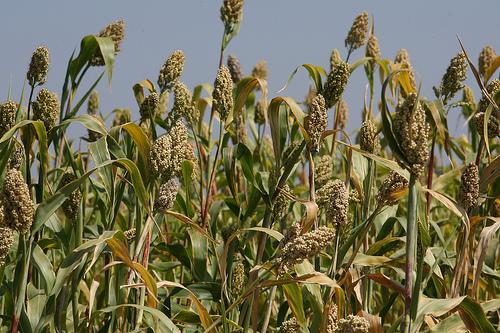 Wheat crop india