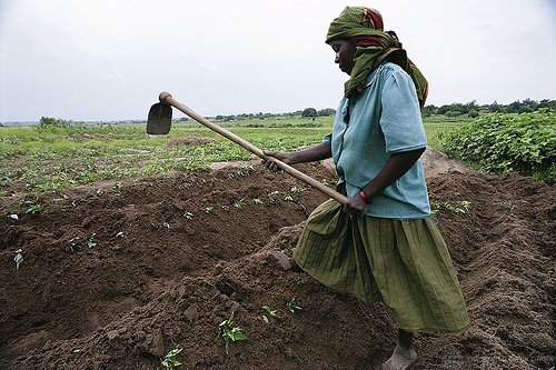 Woman cultivating rice