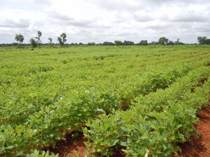 Ghana- Soybean