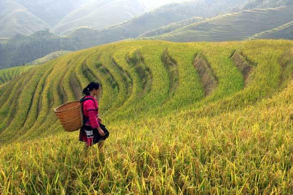 Rice_harvest_591